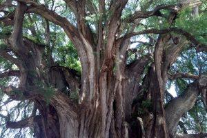 Arbol del Tule самое широкое дерево в мире в Оахаке, Мексика.