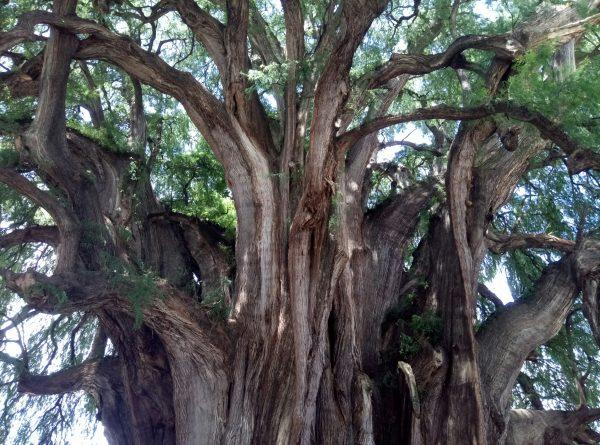 Самое широкое дерево в мире Arbol del Tule в Мексике.