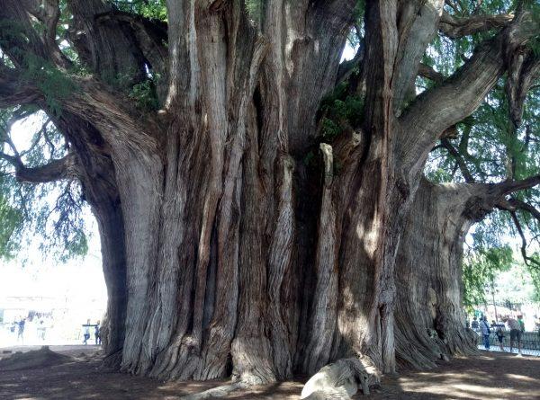 Arbol del Tule самое широкое дерево в Мексике и мире.