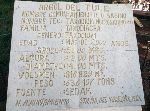 Характеристики самого широкого дерева в Мексике.