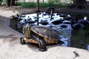 Морские черепахи в Мексике на пляже Масунте.