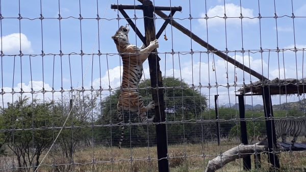 Содержание хищников в зоопарках Мексики. Фауна страны.
