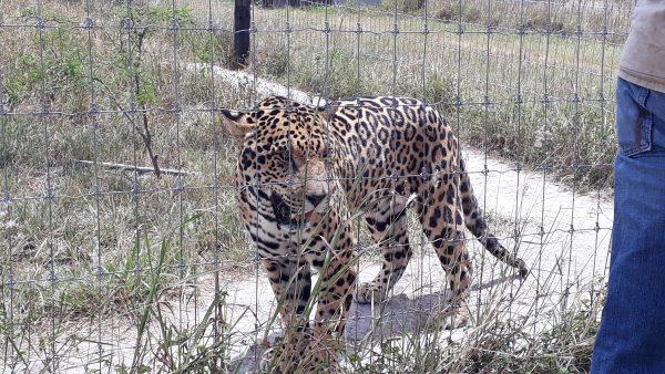 Хищная фауна Мексики в зоопарках страны. Берегите свои части тела.