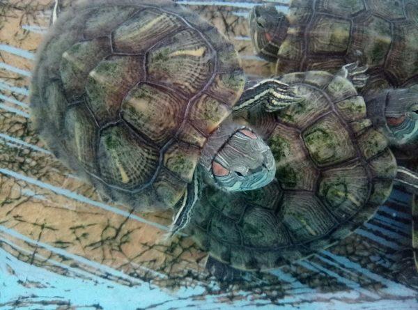 Черепахи на пляже Mazunte