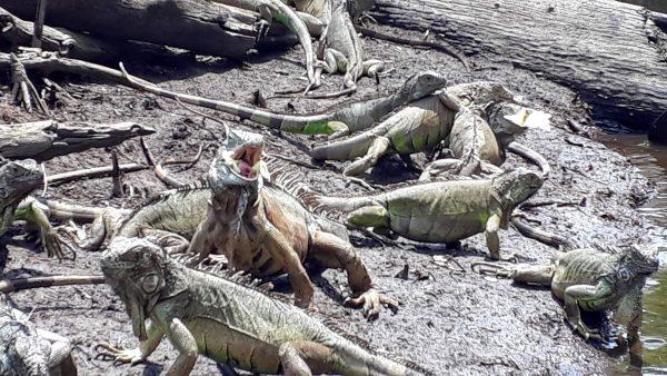 Игуаны и крокодилы в Мексике. Лагуна Ventallia на Тихом океане в штате Оахака.