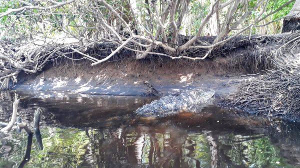 Где живут крокодилы в Мексике. Мангровые заросли лагуны Ventanilla.