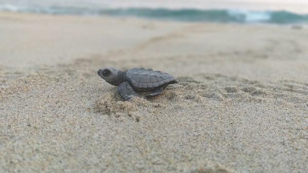 Черепахи на тихоокеанском побережье. Пуэрто Эскондидо.