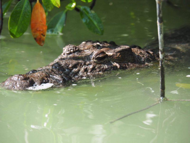 Где посмотреть крокодилов в Мексике.