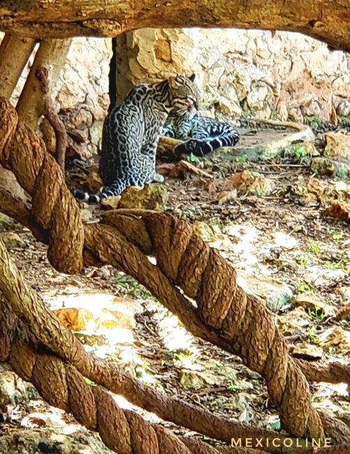 Ягуар в заповеднике Рио Лагартос и Вальядолиде.